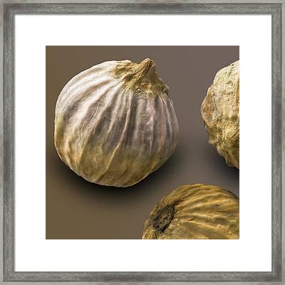 Coriander Fruit, Sem Framed Print