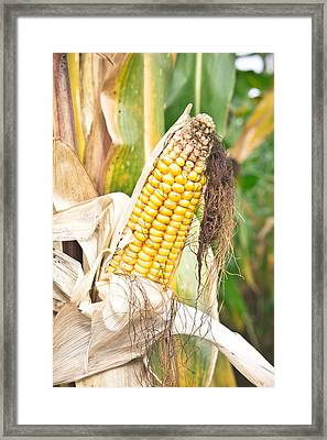 Corn Framed Print by Tom Gowanlock