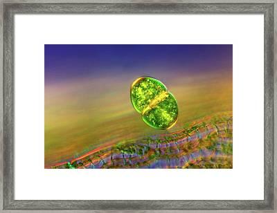 Cosmarium Desmid Framed Print by Marek Mis