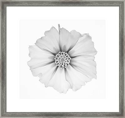 Cosmos Flower In Black And White. Framed Print by Rosemary Calvert