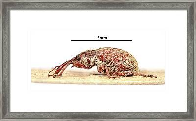 Cotton Boll Weevil Framed Print