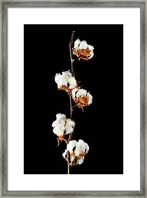 Cotton (gossypium Hirsutum) Bolls Framed Print