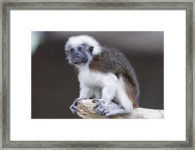 Framed Print featuring the photograph Cotton Top Tamarin by Shoal Hollingsworth