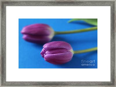 Couple Of Purple Tulips Framed Print by Eden Baed