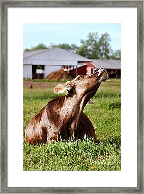 cow Framed Print by HD Connelly