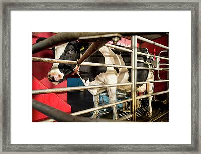 Cow In Milking Machine Framed Print by Aberration Films Ltd
