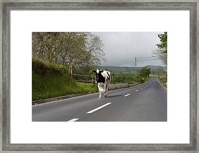 Cow Walks Along Country Road Framed Print