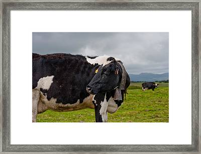 Cow Wearing Cowbell  Framed Print
