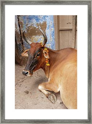 Cow With Flowers, Varanasi, India Framed Print by Ali Kabas