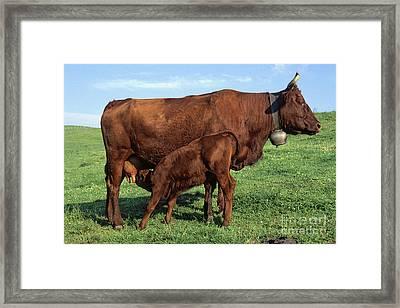Cows Salers Framed Print