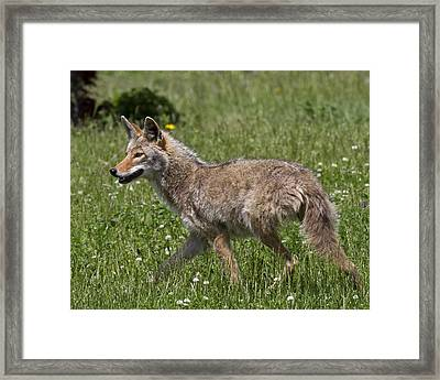 Coyote-0017 Framed Print