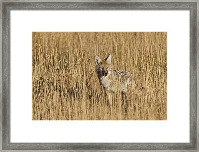Coyote - 4387 Framed Print