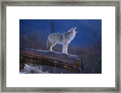 Coyote Standing On Log Alaska Wildlife Framed Print