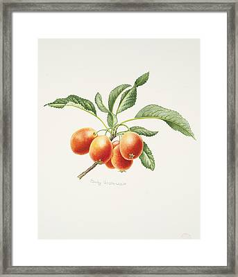 Crab Apples Framed Print by Sally Crosthwaite