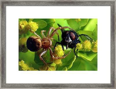 Crab Spider With Fly Framed Print by David Spears/science Photo Library
