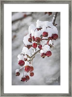 Crab Apples On Snowy Branch Framed Print