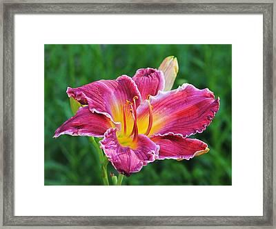 Crimson Day Lily Framed Print