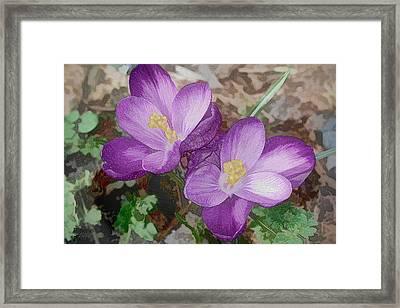 Crocus  Framed Print by Bonnie Willis