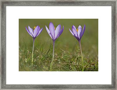 Crocus (crocus Nudiflorus) Flower Framed Print by Bob Gibbons
