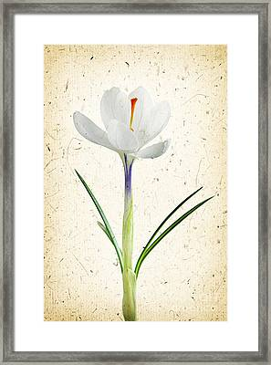 Crocus Flower Framed Print by Elena Elisseeva