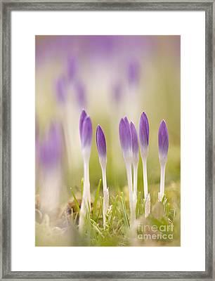 Crocus Flowers Crocus Tommasinianus Framed Print
