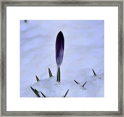 Crocus In Snow Framed Print by Leif Sohlman