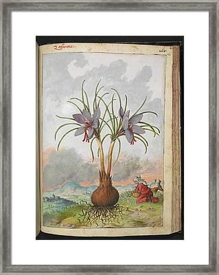 Crocus Sativus Flowers Framed Print by British Library