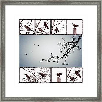 Crows Framed Print by Marianna Mills