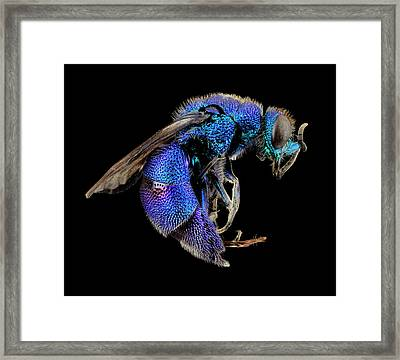 Cuckoo Wasp Framed Print by Us Geological Survey