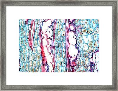 Cucumber (cucurbita Sativus) Stem Framed Print