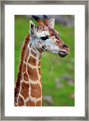 Curious Giraffe Framed Print by Tommytechno Sweden