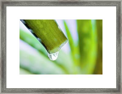 Cut Aloe Vera Leaf Framed Print by Alex Hyde