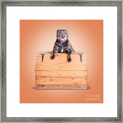 Cute Purebred Blue Staffy Dog Posing On Wooden Box Framed Print by Jorgo Photography - Wall Art Gallery
