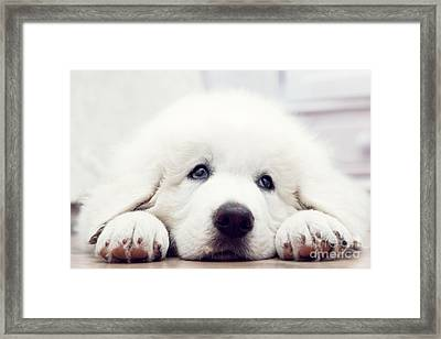 Cute White Puppy Dog Lying On Wooden Floor Framed Print