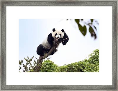 Cute Young Panda Framed Print by King Wu