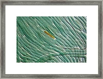Cyanobacteria And Diatom Framed Print by Gerd Guenther