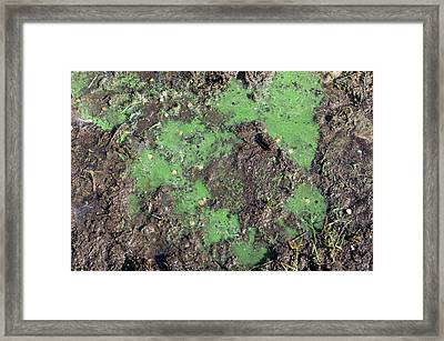 Cyanobacteria On A Eutrophic Lake Shore Framed Print by Dr Jeremy Burgess