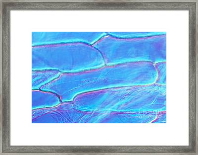 Cytoplasmic Streaming In Onion Cells Framed Print by Sinclair Stammers