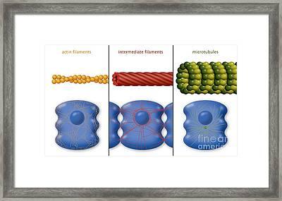 Cytoskeleton Components, Diagram Framed Print