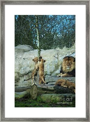 Dad And Lion Cubs Framed Print
