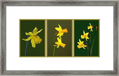 Daffodil Triptych Framed Print by Pete Hemington