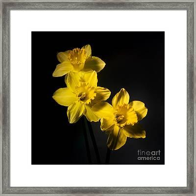 Daffodils Framed Print by Bernard Jaubert
