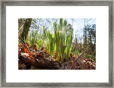 Daffodils In Spring In Ambleside Framed Print by Ashley Cooper