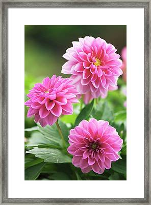 Dahlia Flowers Framed Print by Maria Mosolova/science Photo Library