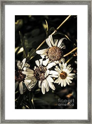Daisy Flowers Dying Slow Death. Pushing Up Daisies Framed Print by Jorgo Photography - Wall Art Gallery