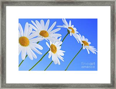 Daisy Flowers On Blue Background Framed Print
