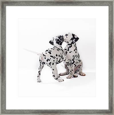 Dalmatian Puppies Framed Print by John Daniels