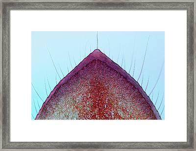 Damselfly Larva Gill Framed Print by Marek Mis