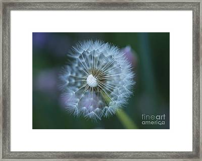 Dandelion Framed Print by Alana Ranney