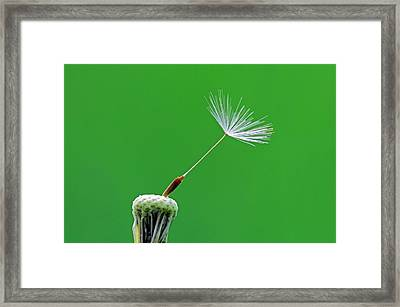 Dandelion (taraxacum Officinale) Seedhead Framed Print by Bildagentur-online/mcphoto-schulz